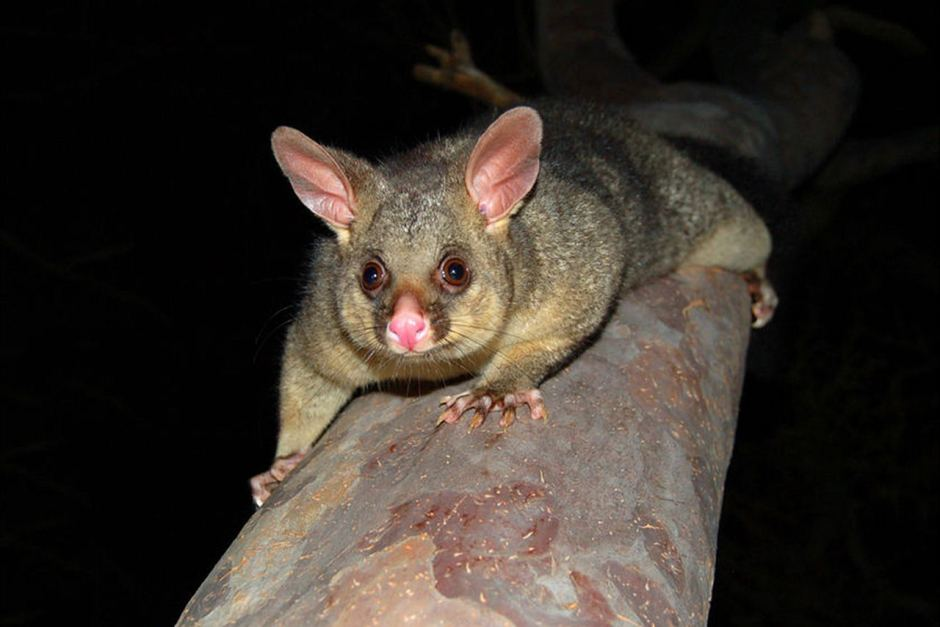 Lock Jaw Ladder Grips are used by Possum Catchers